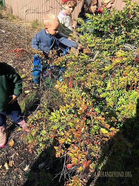 Delicious & abundant evergreen huckleberries