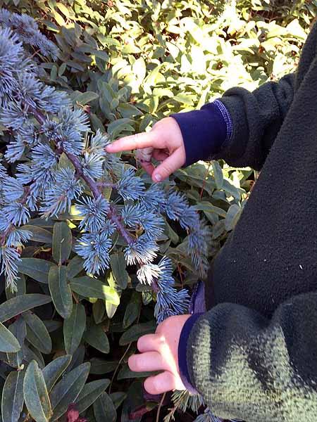 Examining Blue Atlas Cedar