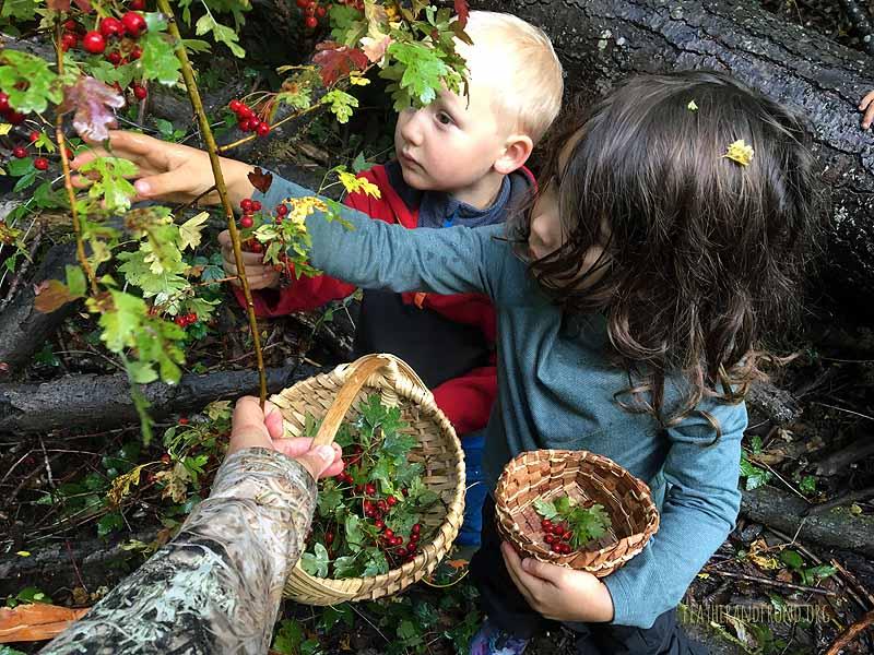 Hawthorn berry harvest