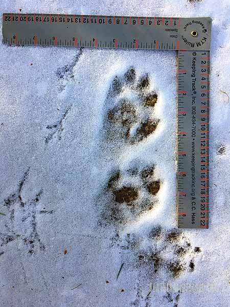 River Otter tracks!!