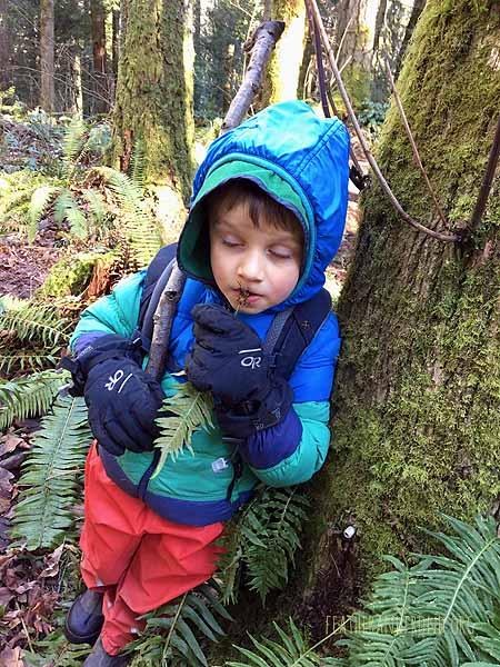 Munchin on licorice fern root