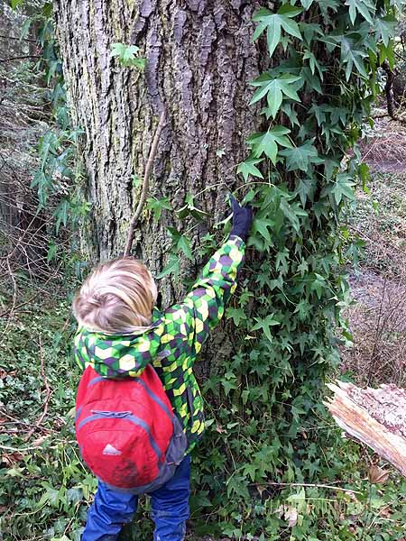 Harvesting rope/fishing line from invasive English Ivy