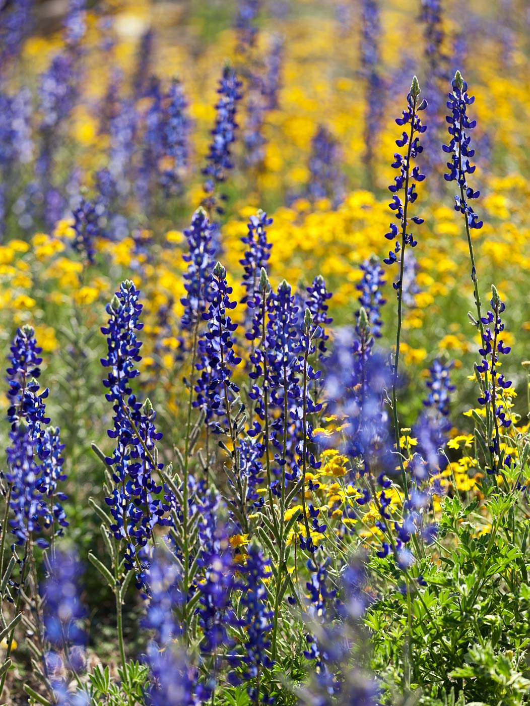Big-Bend-National-Park-ABP-Bluebonnets_Desert-Marigold.jpg