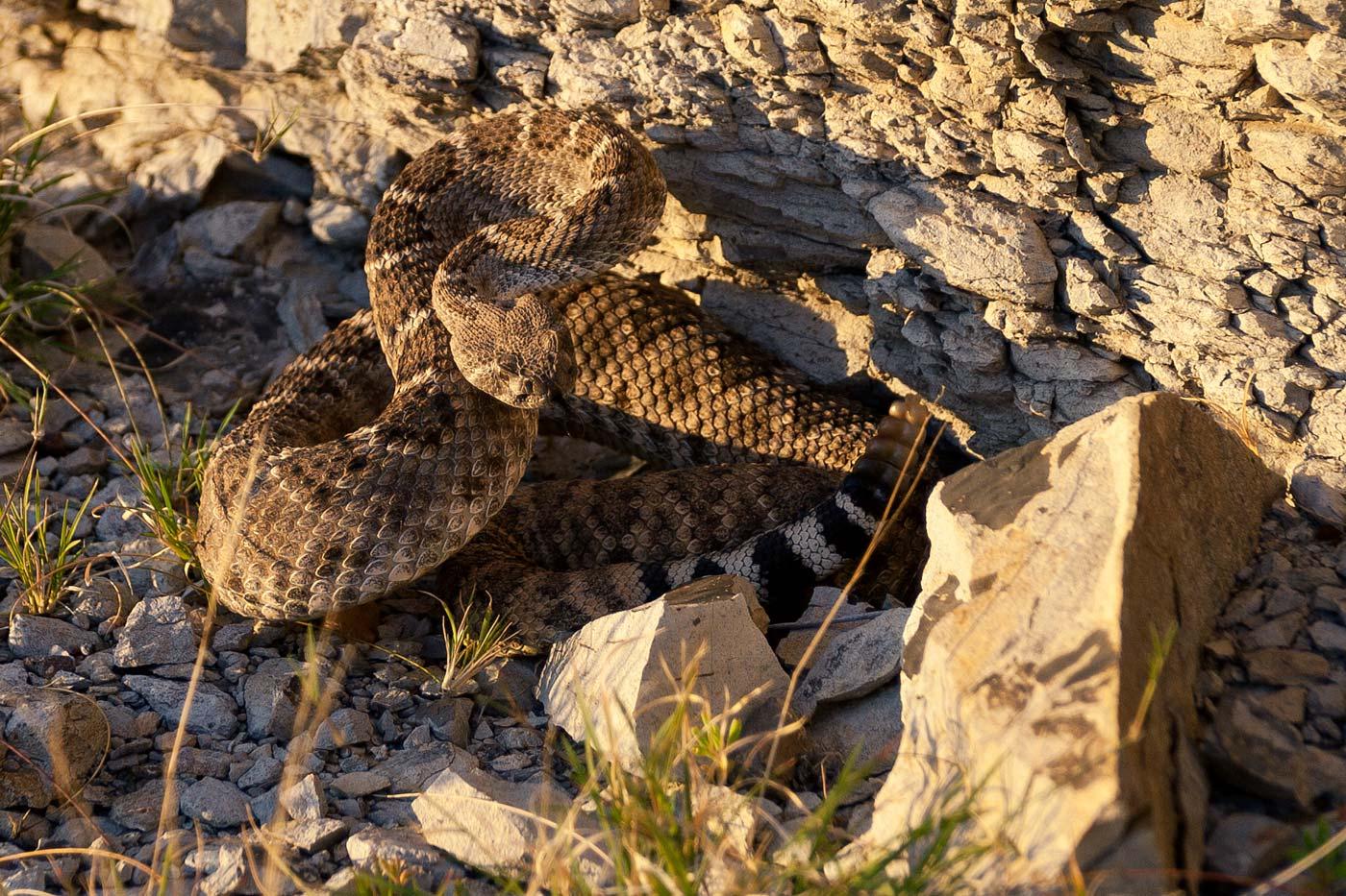 Big-Bend-National-Park-ABP-Western-Diamondback-Rattlesnake.jpg