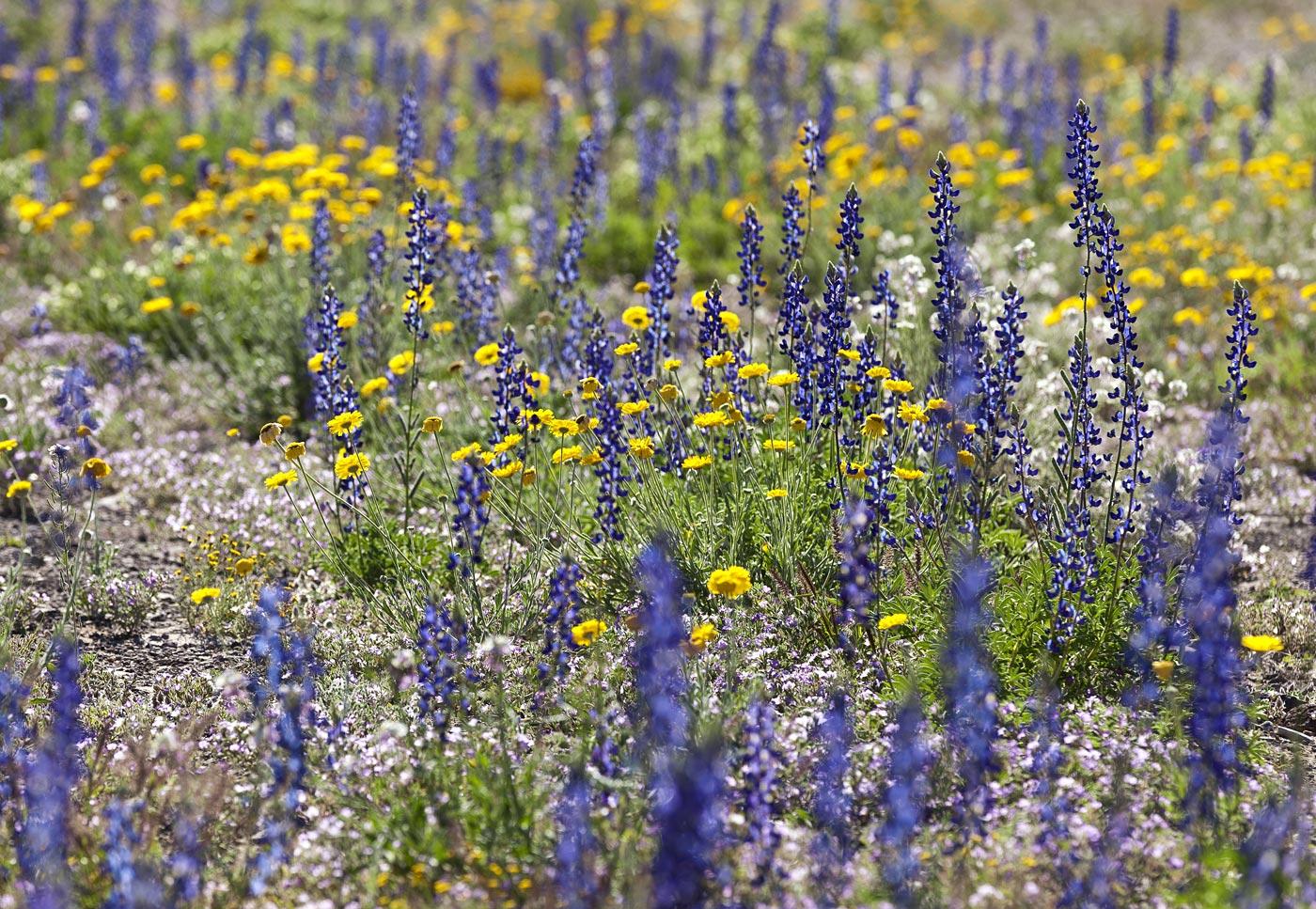 wildflowers-ABP-Bluebonnets_Desert-Marigold.jpg