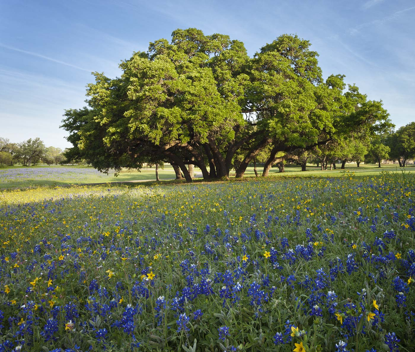wildflowers-ABP-Bluebonnets_LiveOak.jpg