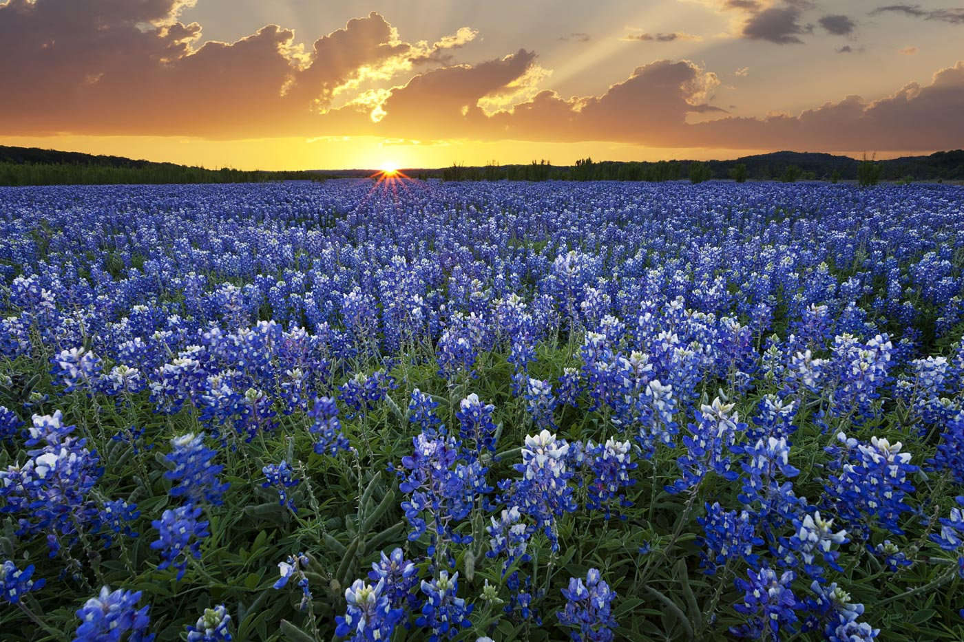 wildflowers-ABP-Bluebonnets_Muleshoe-Bend.jpg
