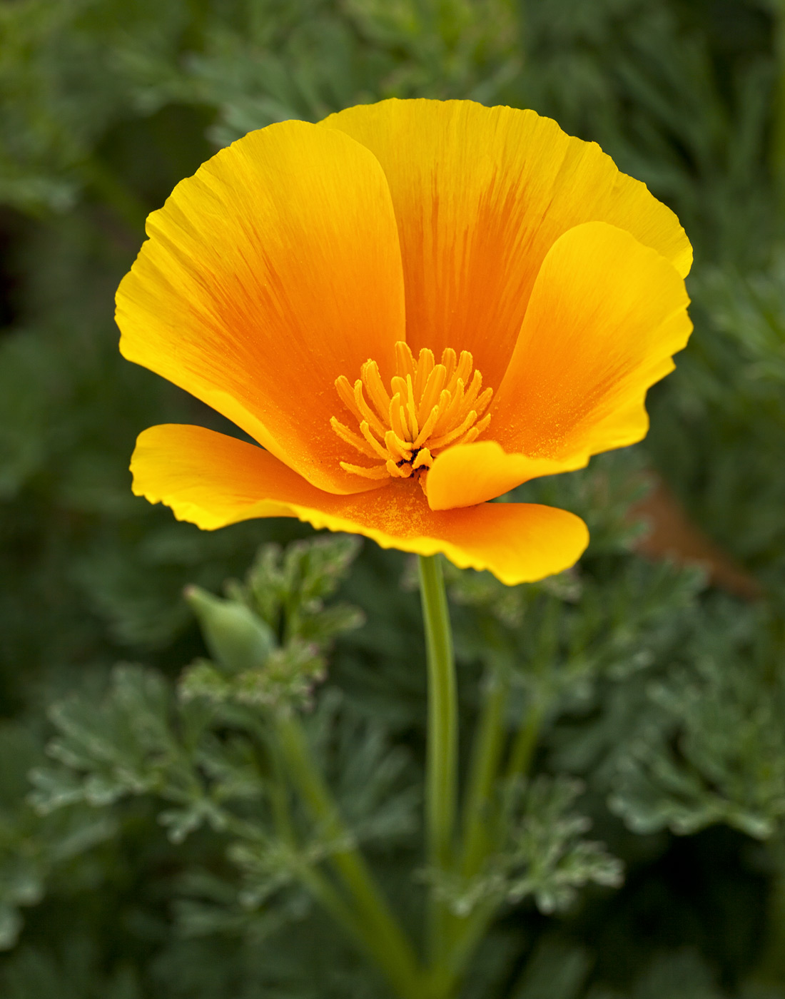 wildflowers-ABP-California-Poppy.jpg