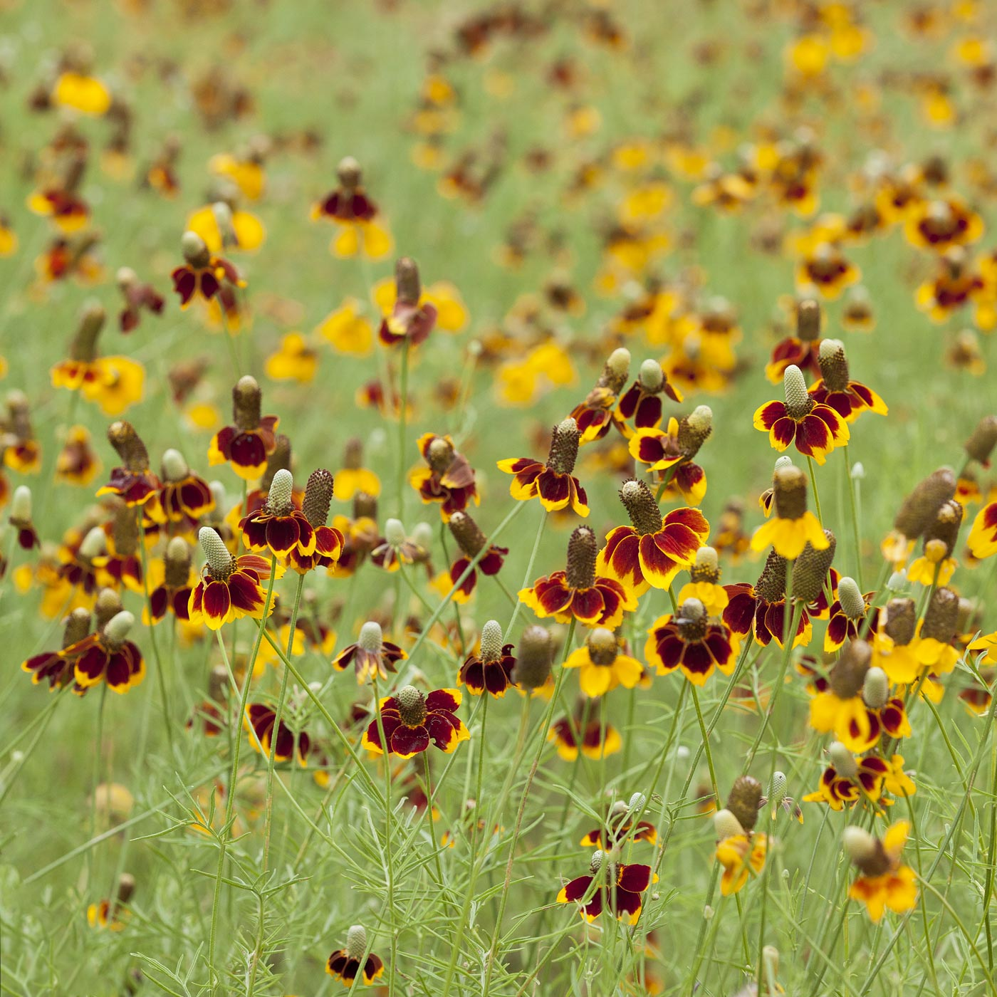 wildflowers-ABP-Mexican-Hat.jpg