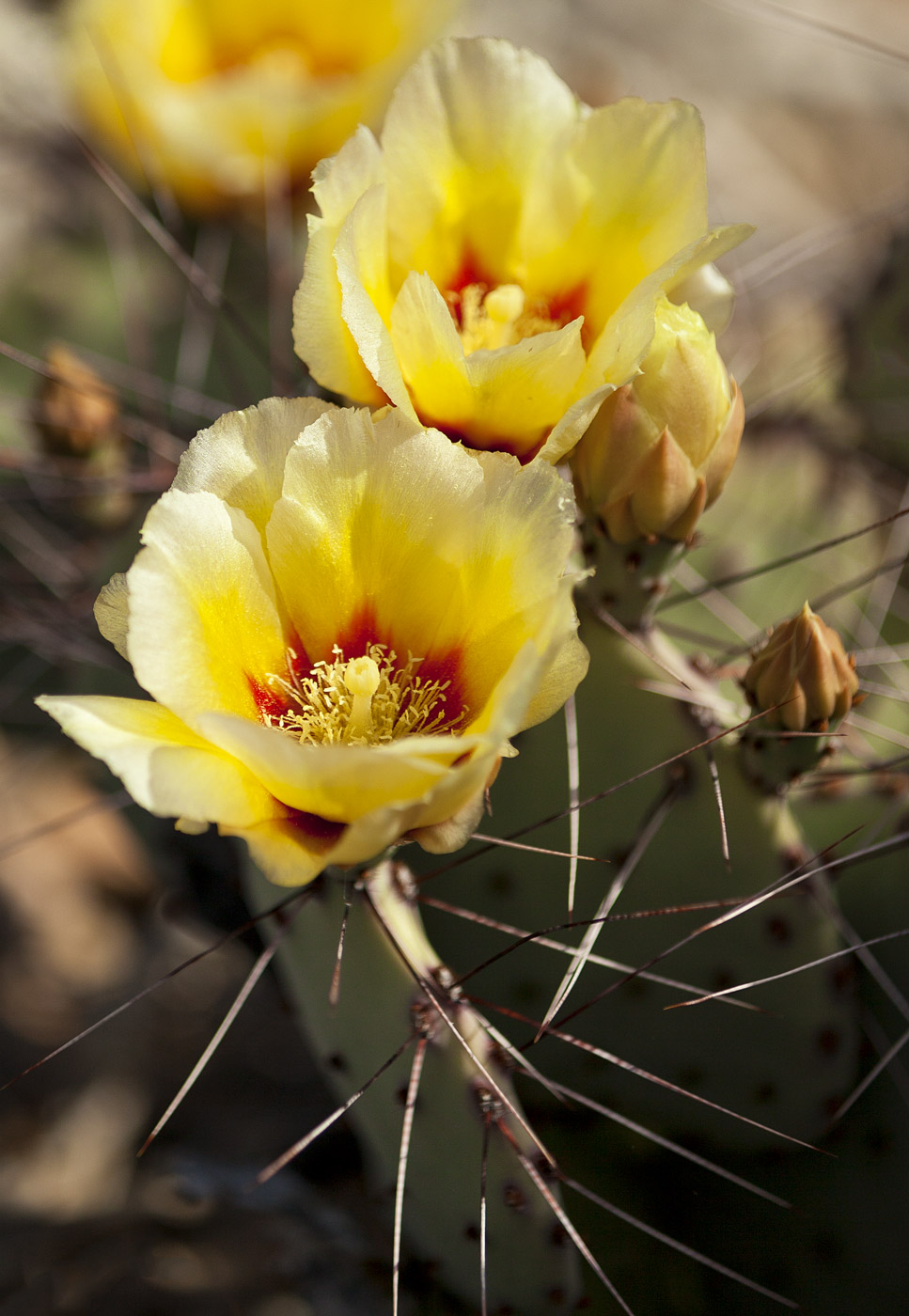 wildflowers-ABP-Prickly-Pear-Bloom_yellow.jpg