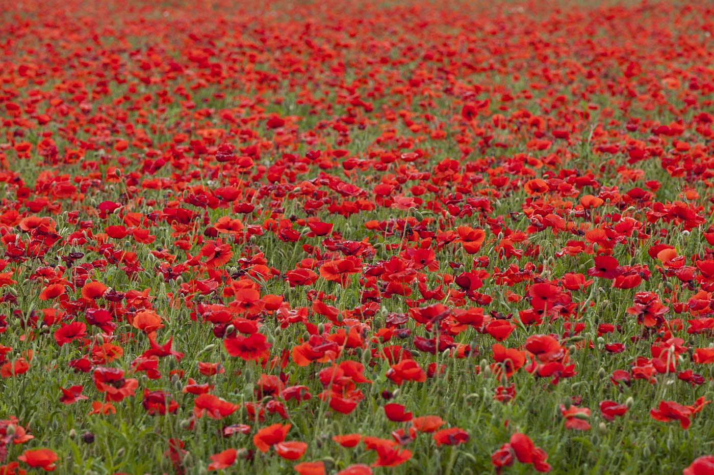 wildflowers-ABP-Red-Corn-Poppy_field.jpg