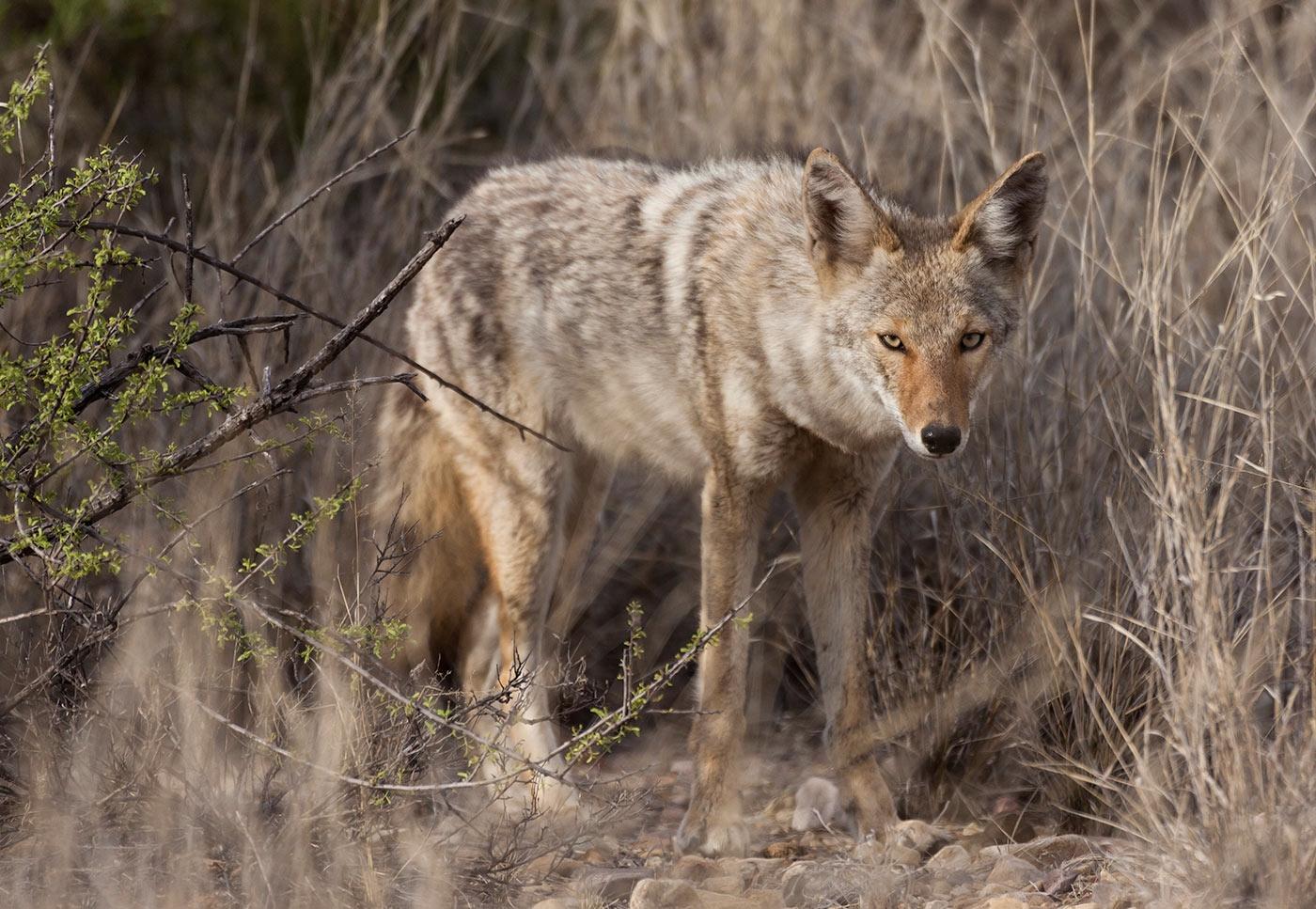 Big-Bend-National-Park-ABP-Coyote_Paint-Gap.jpg