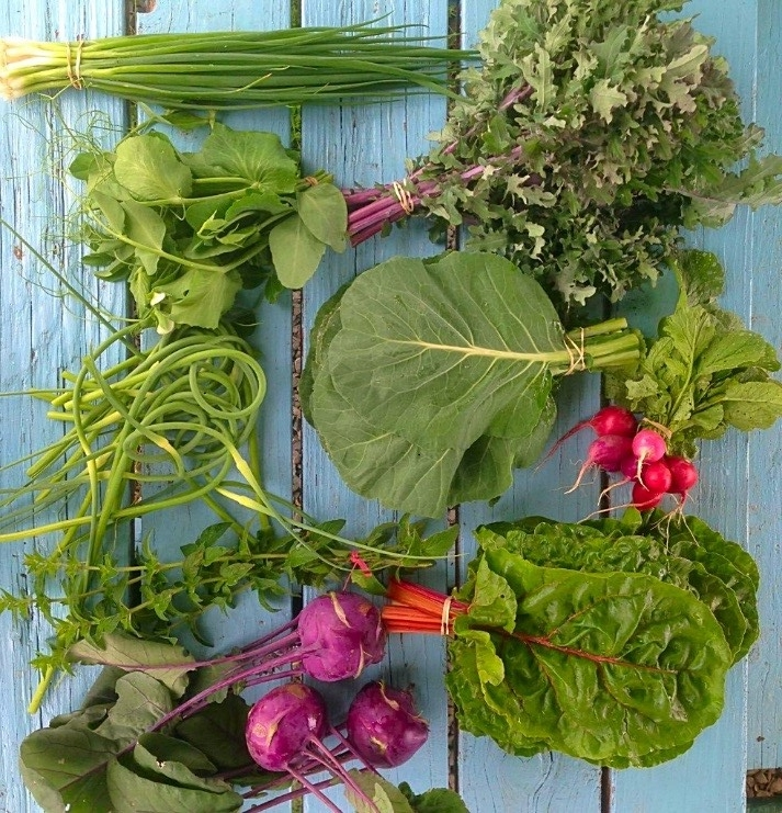 June - Bunching, braising, & salad greensFava Beans, Snap PeasCabbage- green, purple, & NapaHerbs- Cilantro & DillKohlrabi, Pac ChoiBunched roots- Radish, TurnipGreen Bunching Onions & Garlic Scapess
