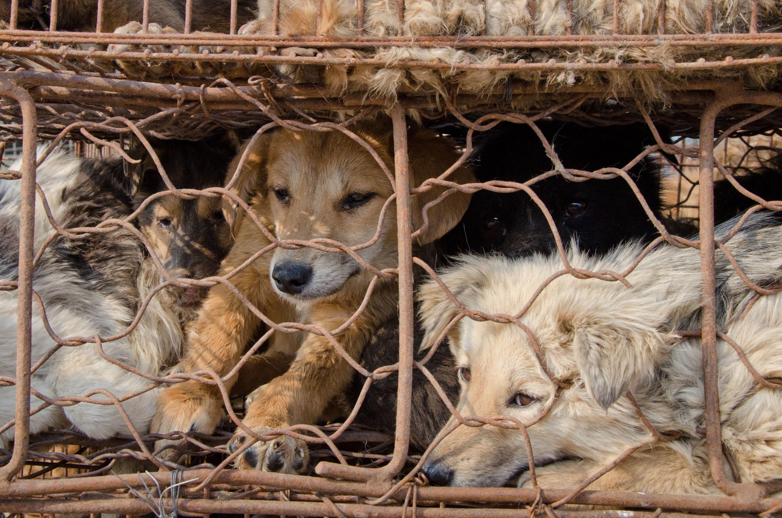 ay107405860dog-meat-trade.jpg