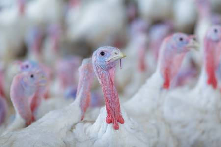 72196922-turkey-on-a-farm-breeding-turkeys-turkey-isolated-on-the-white-background-turkey-white-turkey-portra.jpg