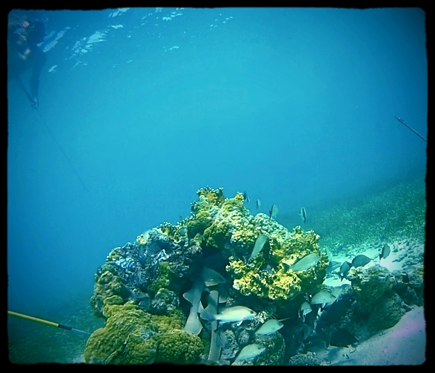 You can see two nurse sharks trying to fit themselves in this small reef head.