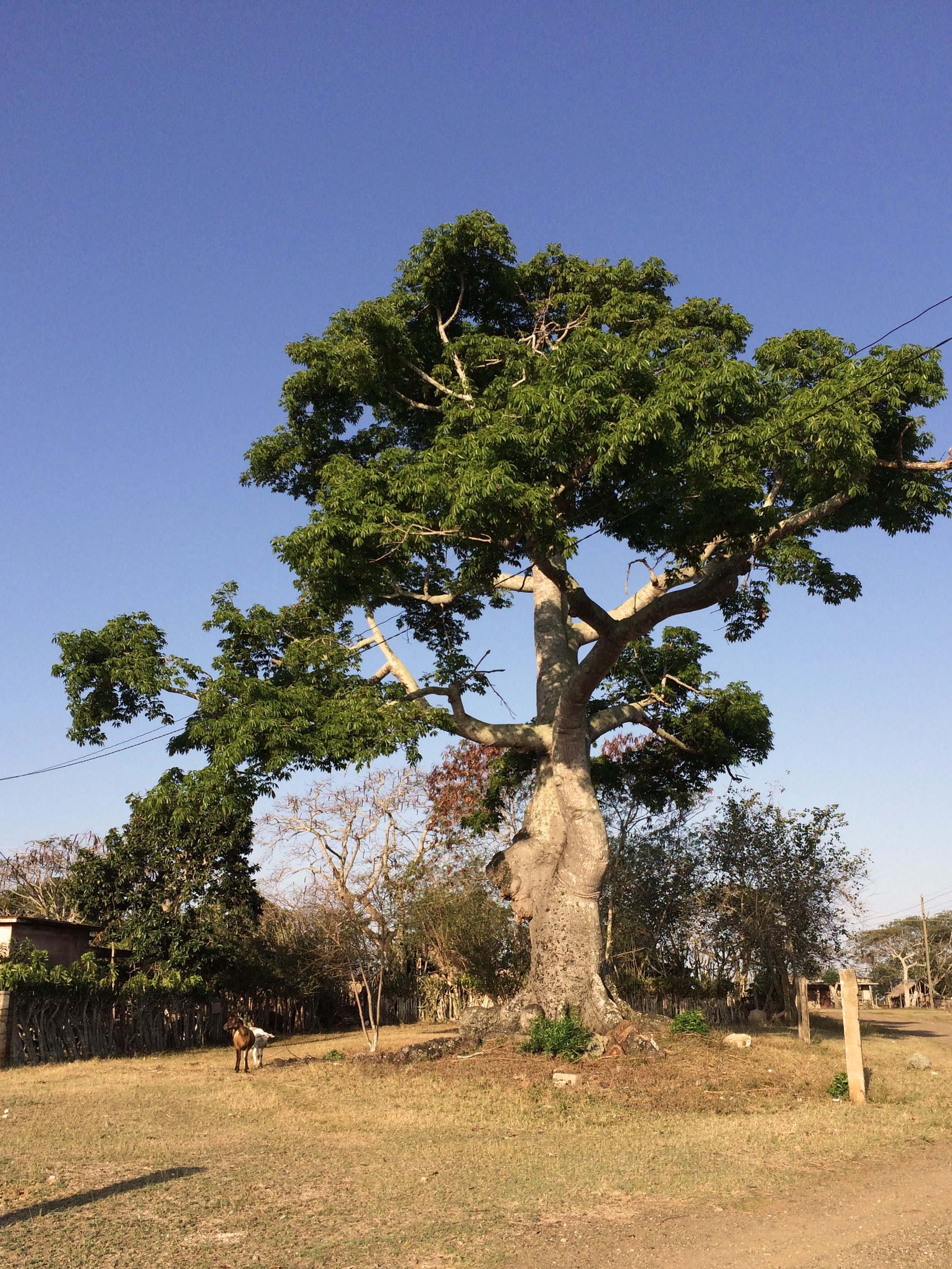 The ceiba tree we found that marked the spot