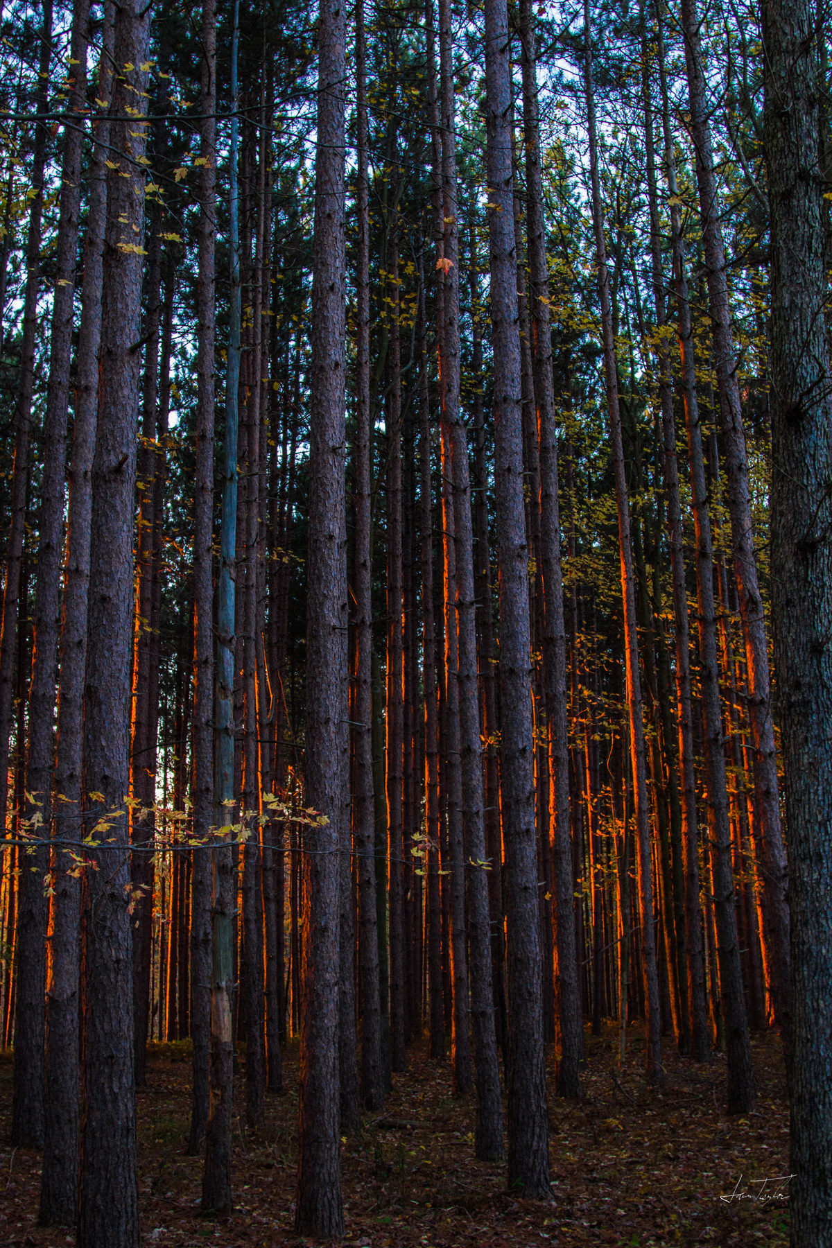 Low Sun Pine Forest - West Virginia