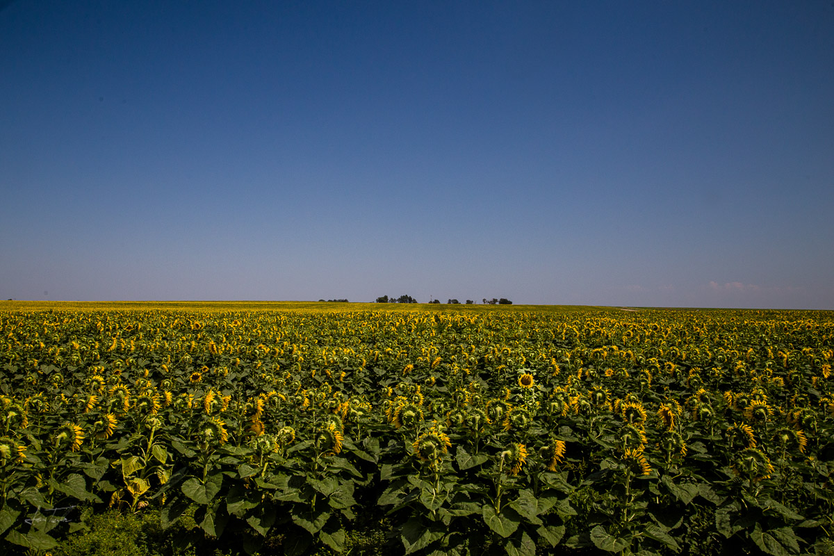 Sunflowers, Nebraska