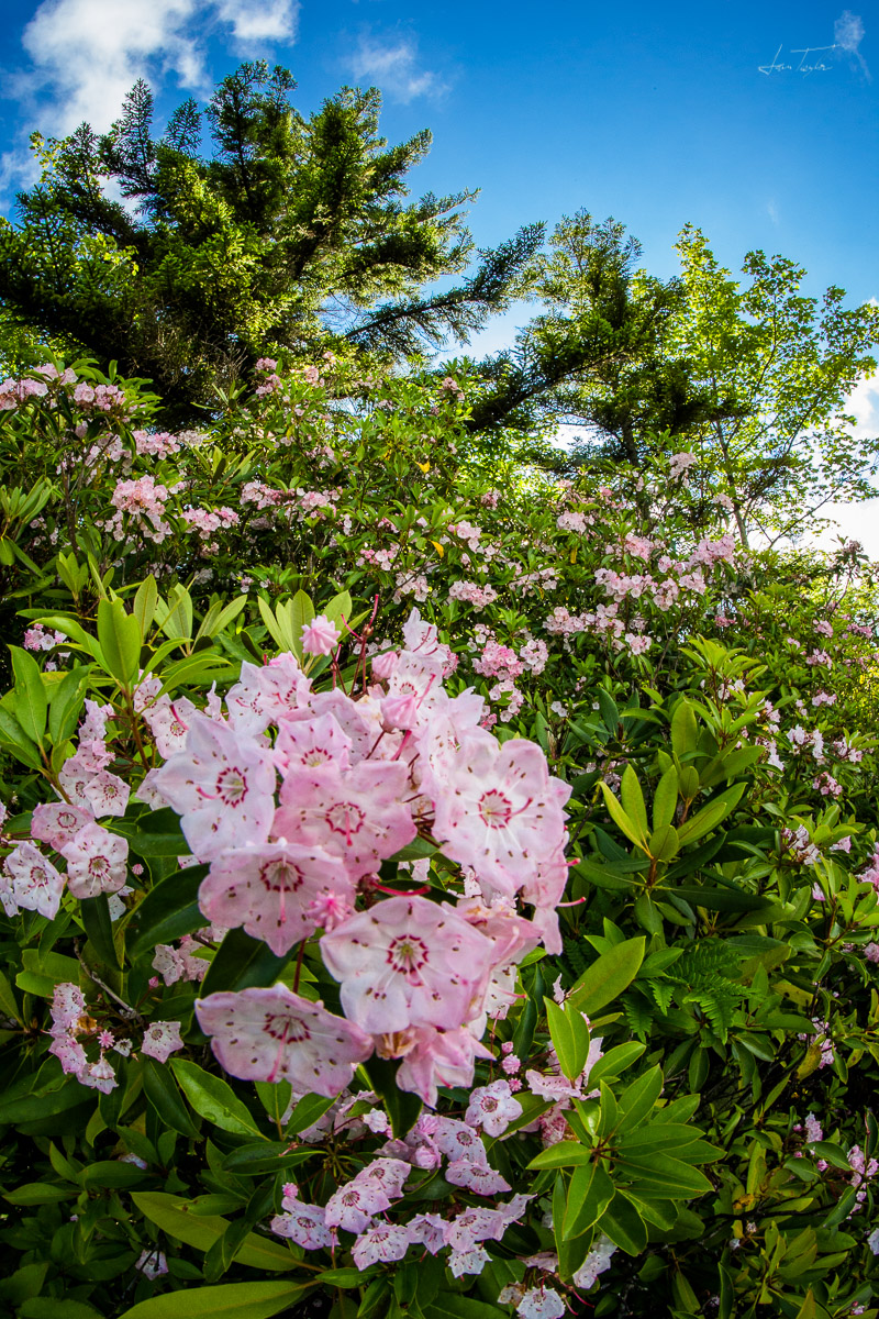 Mountain Laurels In Bloom - West Virginia