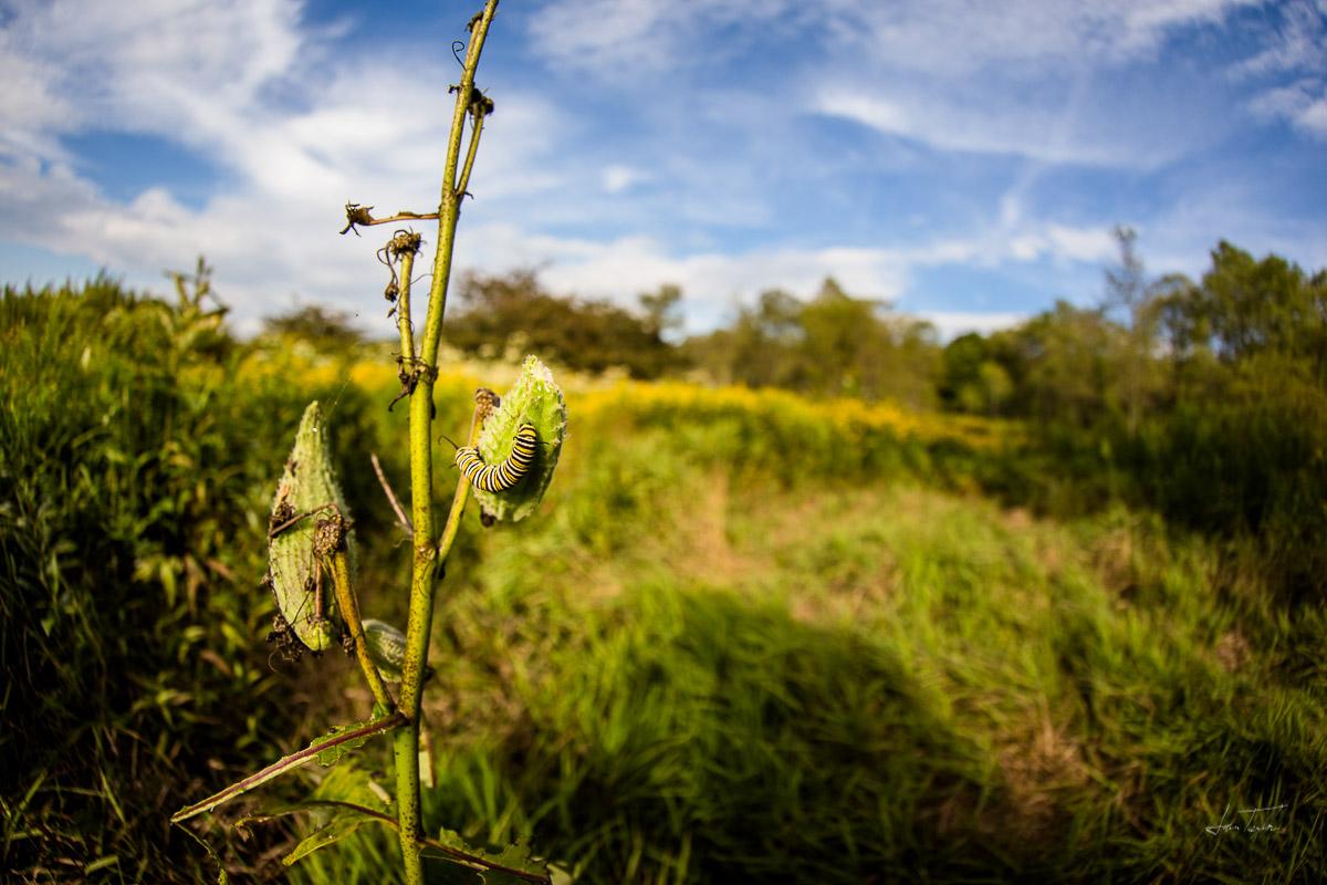 Monarchs Munching Milkweed - West Virginia