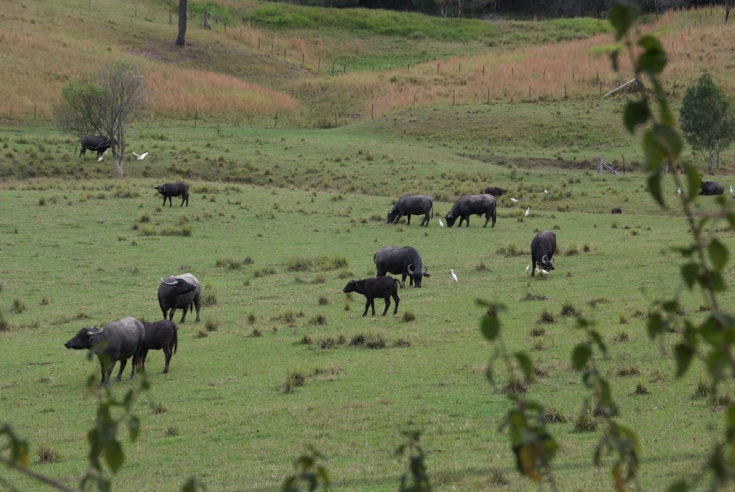 Eungai Creek Buffalo Buffs on Paddock