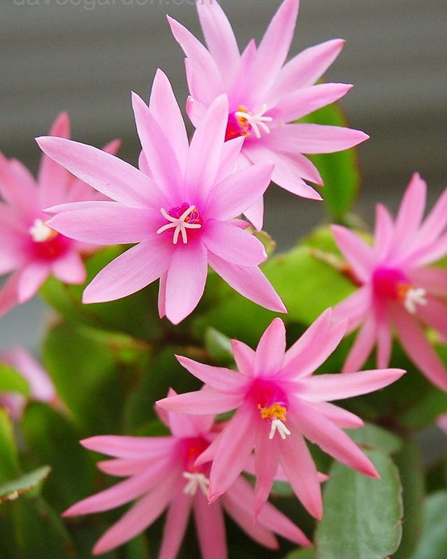 Will you be indulging this Easter? 🌸✨🍫Whether you consume your body weight in chocolate, spend time with friends and family or take time out for some personal R&R, it's important to treat yourself at times. 🙌🏼 Looking forward to some hang time with the family and our extended plant family! 'Easter Cactus' (Hatiora gaertneri) 📷 via davesgarden.com . . . #myfancyplant #mrfancyplants #flowers #cactus #plants #plantlife #relax #worklifebalance #eastercactus #plantlover #longweekend