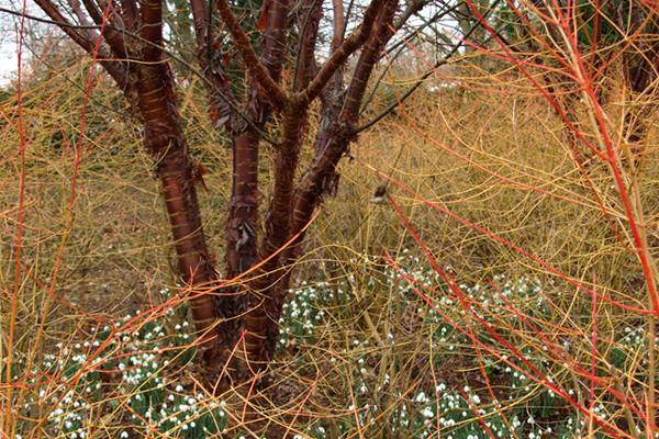 Prunus serrula 'Tibetica'