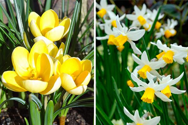 Crocus chrysanthus 'Romance' &Narcissus 'Jack Snipe'