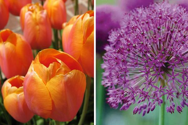 Tulipa 'Dordogne' &Allium hollandicum 'Purple Sensation'
