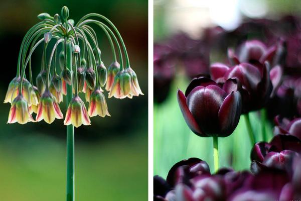 Nectaroscordum siculum &Tulipa 'Queen of Night'