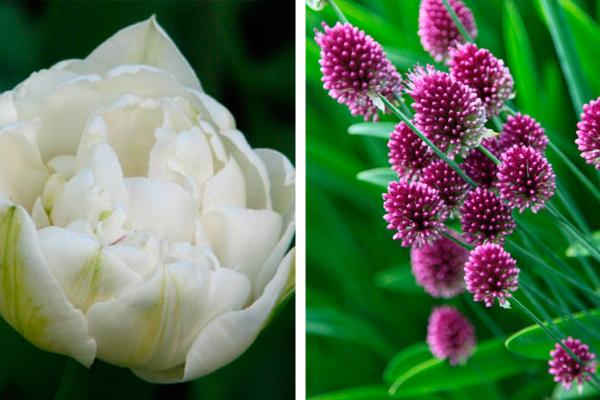 Tulipa 'Mount Tacoma' &Allium sphaerocephalon