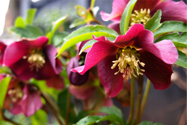 Helleborus x hybridus 'Harvington Red'