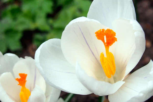 Crocus 'Joan of Arc'