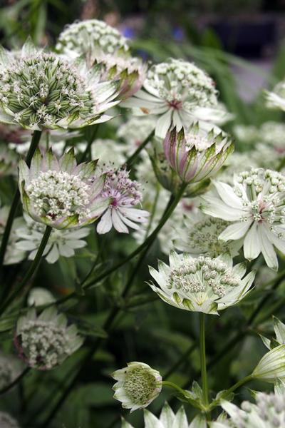 Astrantia major 'Large White'