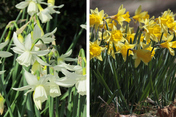 Narcissus 'Rippling Water' & Narcissus Rijnveld's Early Sensation'