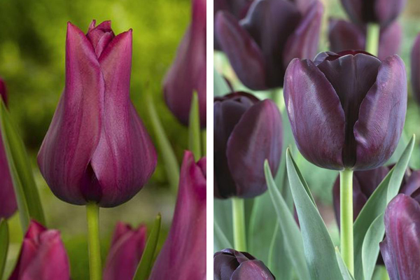 Tulipa 'Merlot' & Tulipa 'Queen of Night'