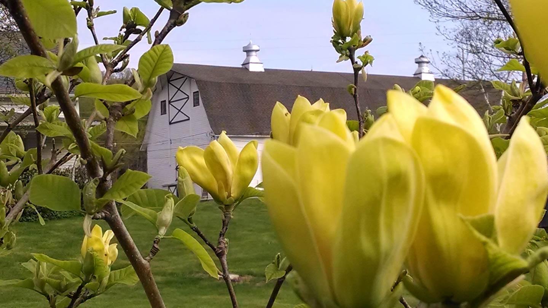farm magnolias.jpg