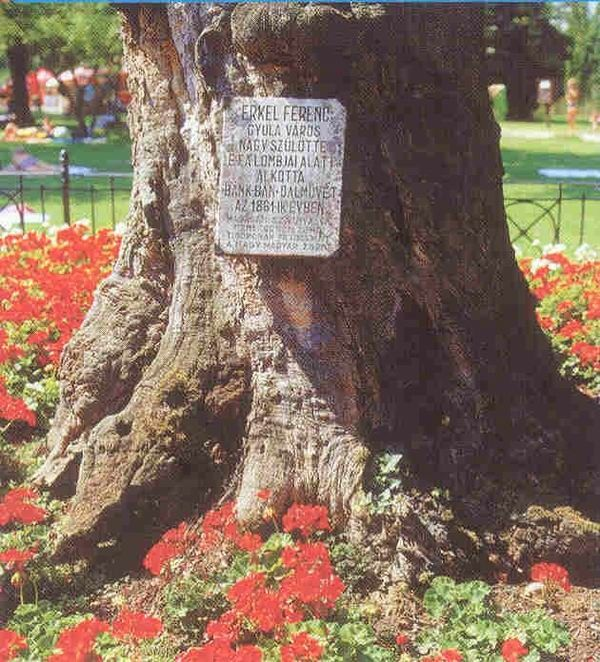 Erkel-fa a gyulai Várfürdő parkjában. Itt született a Bánk bán zenéje