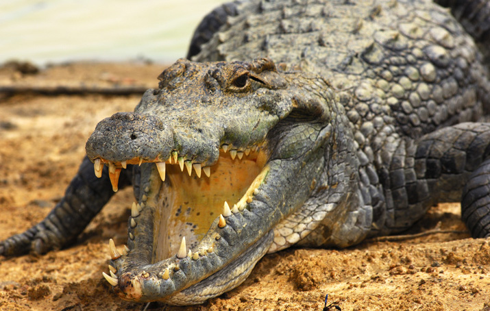 A krokodil