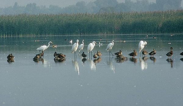 A szegedi Fehér-tó madárvilága