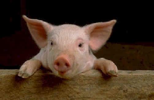 Pig-image.jpg