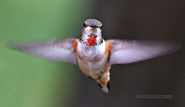 Female RufusHummingbirdIronCross_68452019-05-13.jpeg