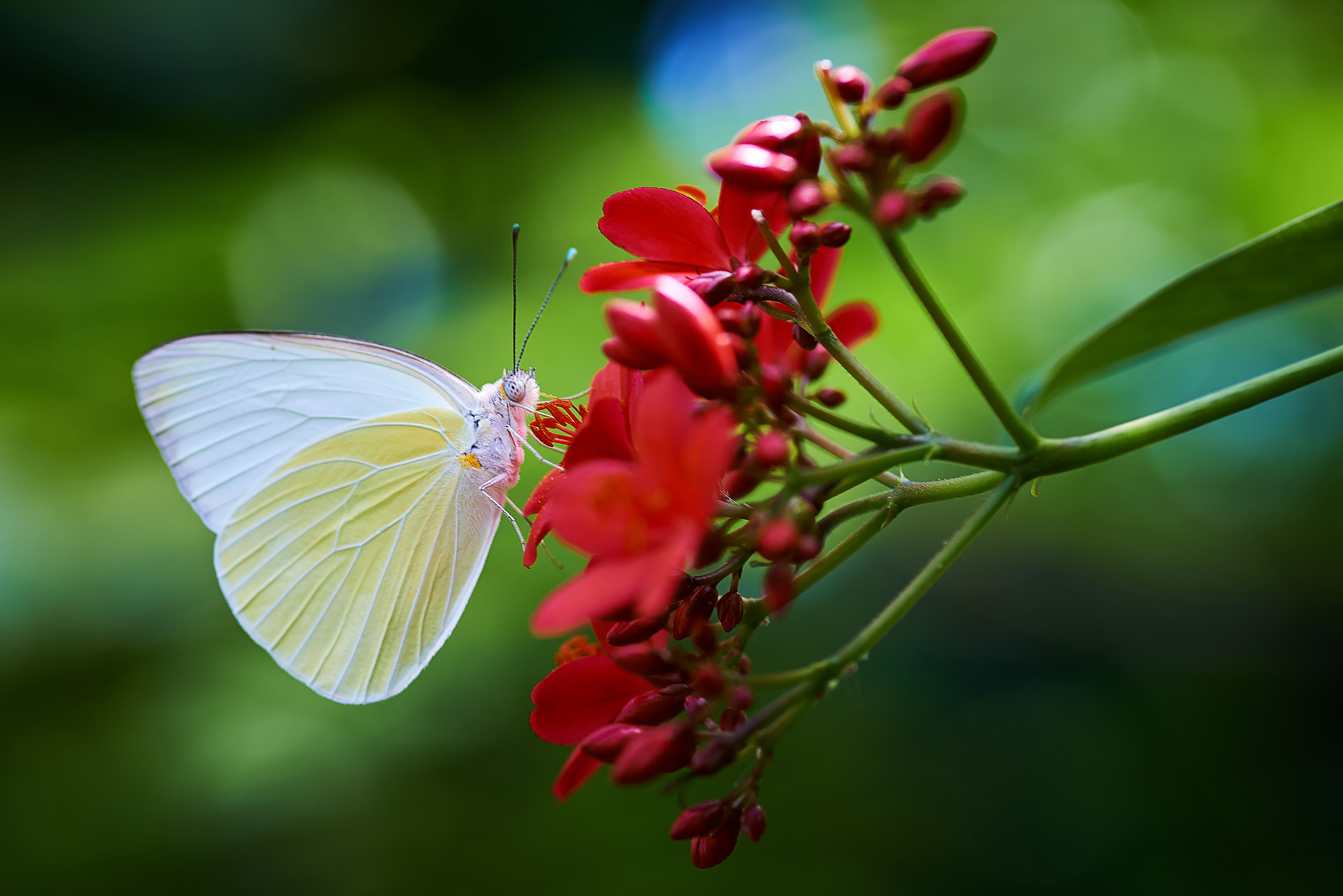 White Beauty in Phipps