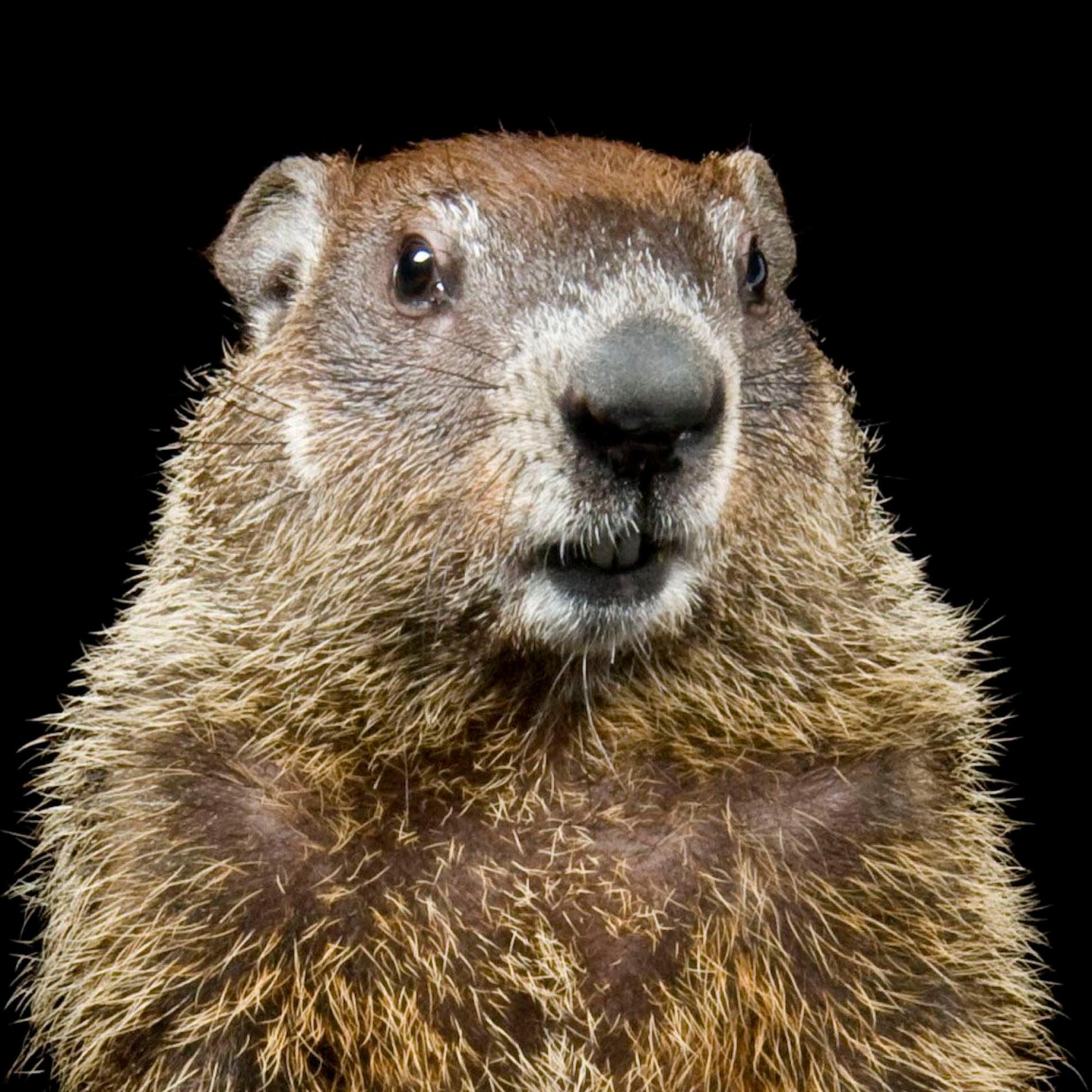 groundhog_thumb.ngsversion.1484690405320.adapt.1900.1.JPG