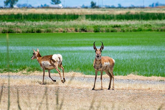 Our farm is home to an abundance of wildlife including this pair of pronghorn antelope we glimpsed this morning!