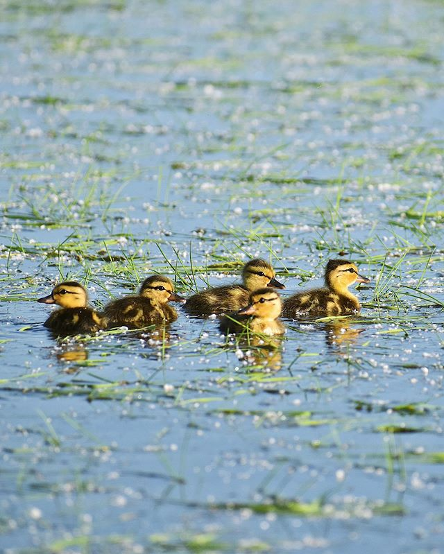 DUCKLING SIGHTING! This time of year is critical for waterfowl hatchlings and our organic rice farm is the perfect home for these youngsters until they grow big enough to migrate. #organic #sustainable #waterfowl #cute #californiafarming