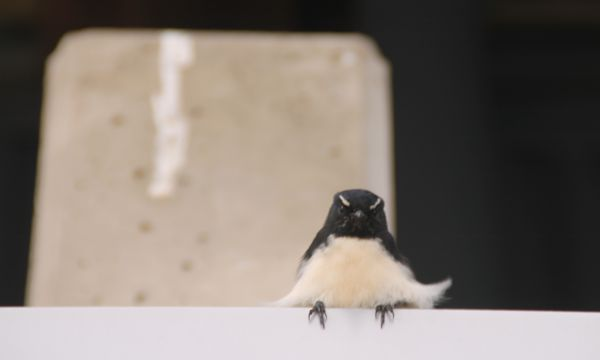 WillyWagtail.JPG