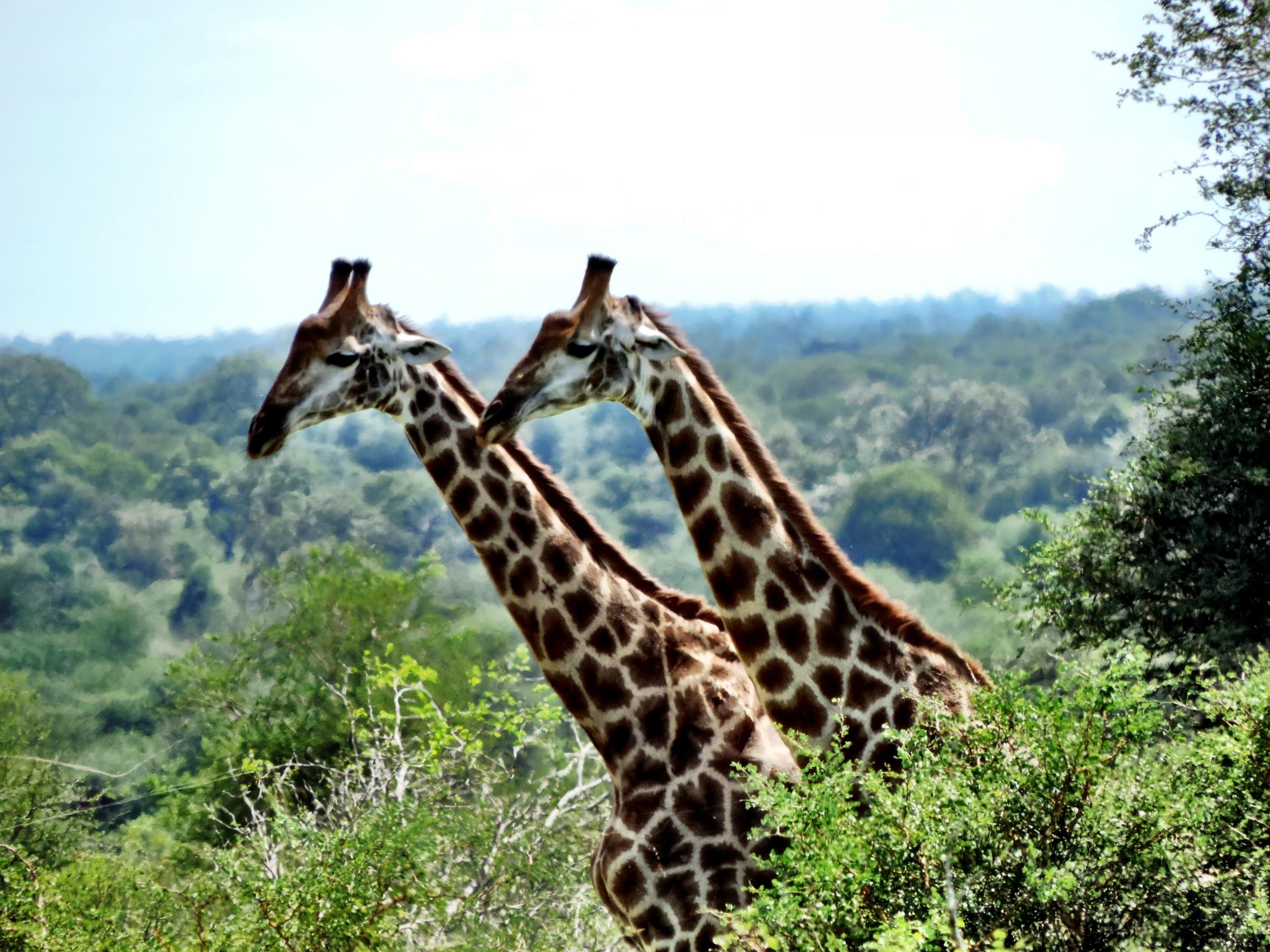 Giraffes at Kruger National Park in South Africa
