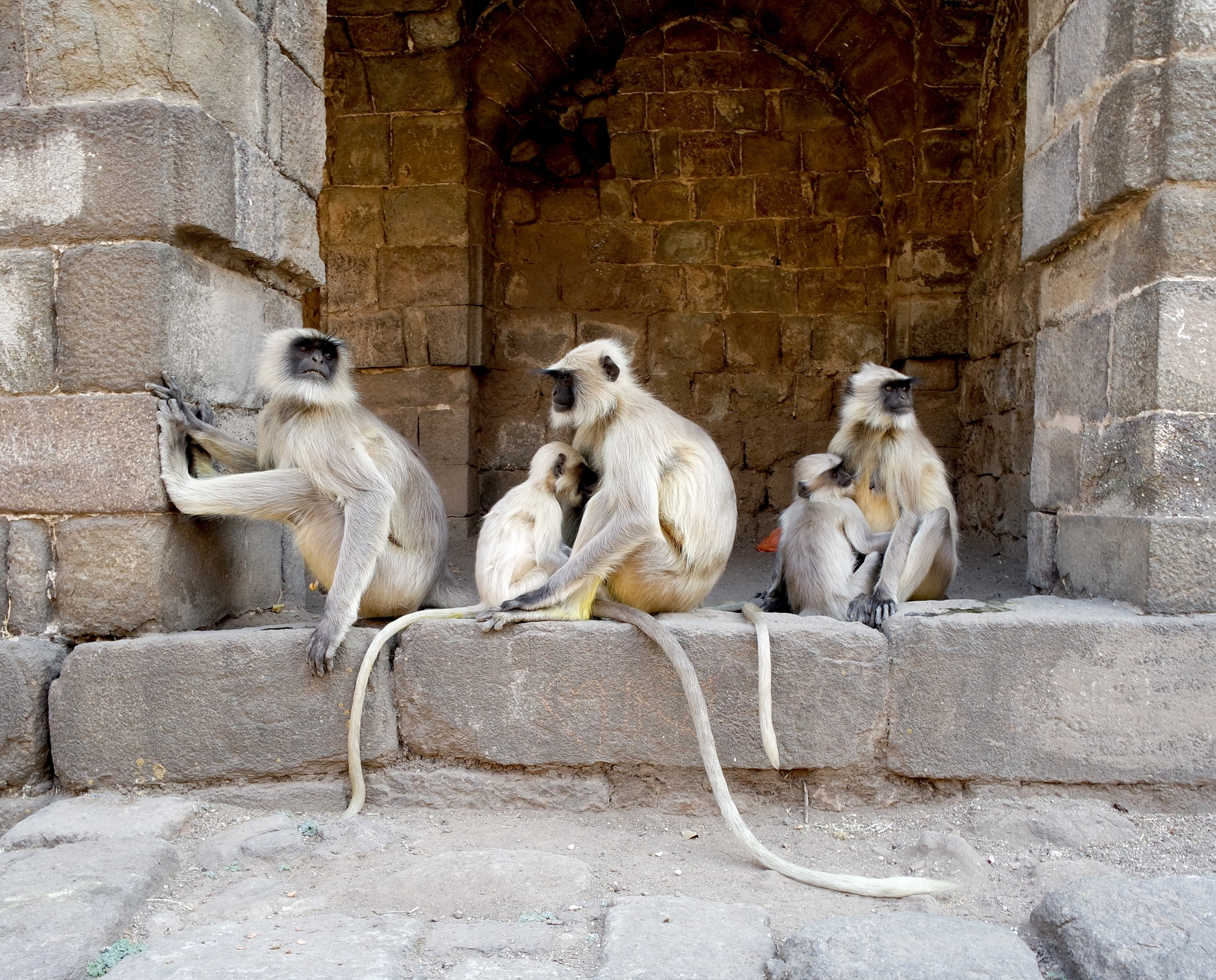 Langur monkeys are found throughout the complex